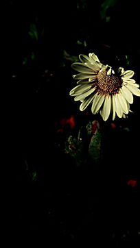 黑夜中的白色菊花