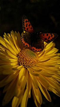 黄色菊花上的蝴蝶