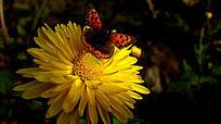 黄色菊花上的蝴蝶的世界