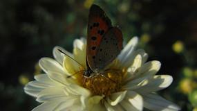 菊花上的飞舞蝴蝶