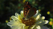 菊花上的蝴蝶采蜜