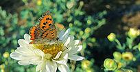 菊花上的蝴蝶采蜜飞舞