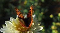 菊花上的蝴蝶采蜜绽放飞舞