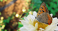 菊花上的蝴蝶和昆虫