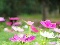 两朵红紫色大波斯菊