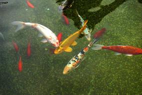 水池内的锦鲤高清大图