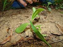 土壤里淡雅的小草