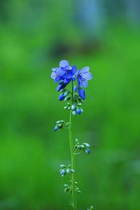 一颗盛开的花荵