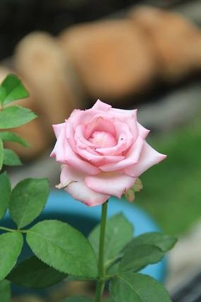 一株紫色玫瑰花