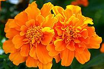 黄色花朵摄影图片