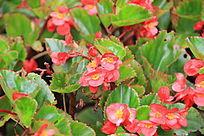 绿叶间的小红花