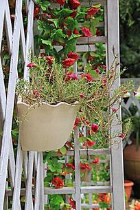 盆栽中的红色小花朵