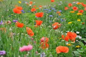 一片橙色花为主的花丛