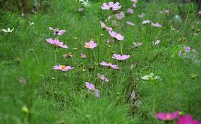 草地上的格桑花