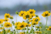花色野菊和花苞
