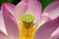 粉色荷花花蕊莲蓬头细节特写大图