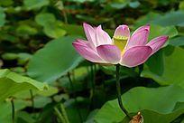 色彩通透的粉色荷花高清大图