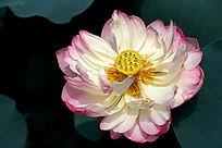 盛开的粉色荷花高质感大图