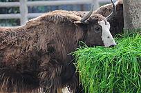吃草的牦牛