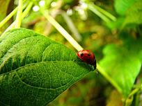 叶子尖上的瓢虫