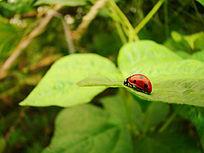 在叶子上慢慢爬的瓢虫