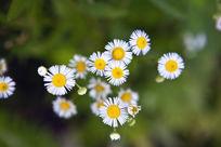 俯视野菊花