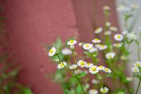 红背景上的白色野菊花
