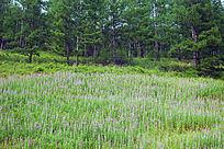 林间草甸盛开的柳兰