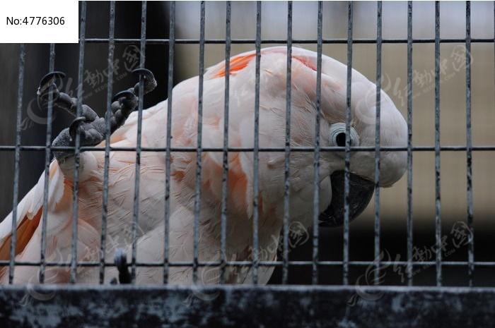 笼子里的白色鹦鹉图片