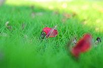 掉落到草丛上的红色花瓣