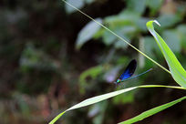一只落在草叶上的蓝色豆娘