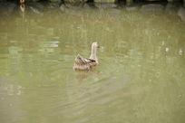 水中的土鸭子