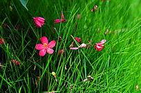 绿草上的红色小花