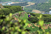 绿色茶叶基地