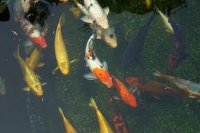 高清拍摄水塘内的锦鲤