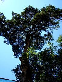 蓝天里的大树