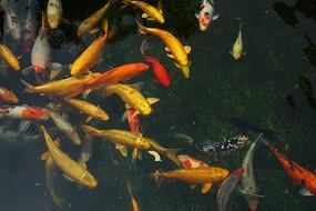 色彩鲜艳的锦鲤高清拍摄