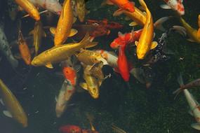 鱼塘内的锦鲤高清大图