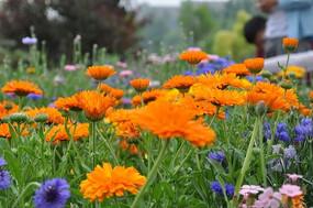 橙色菊花丛