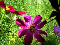 绿草前的大波斯菊