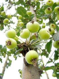 树上挂满了水果