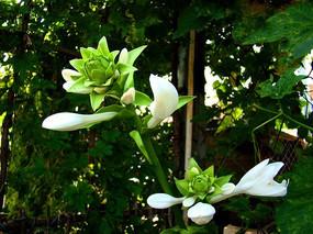 优雅的两朵绿色花朵