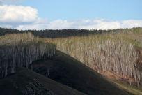 山坡白桦林