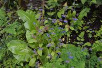 不知名的大叶紫花