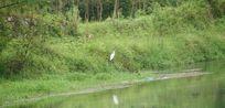 河边草木上小白鸟