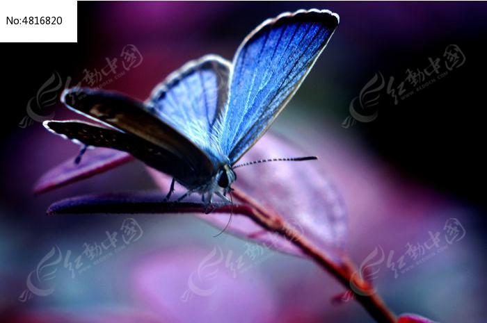 蓝色的蝴蝶图片