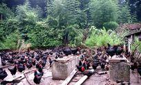 山中的一群土鸡