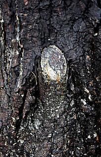 油松树皮表层纹理
