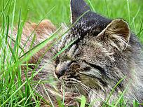 在草丛里睡着的花猫