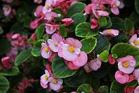 粉色小花背景素材摄影图片